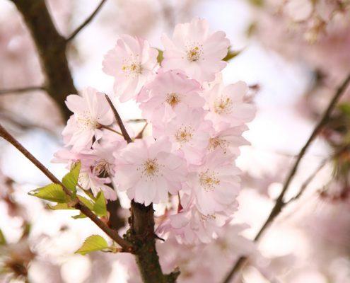 Willkommen im Frühling, Kirschblüte als Bild zu unserem März-Newsletter