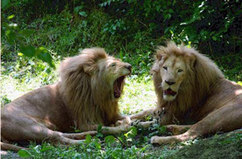 Löwenrudel als Bild für den Artikel Furchtlosigkeit